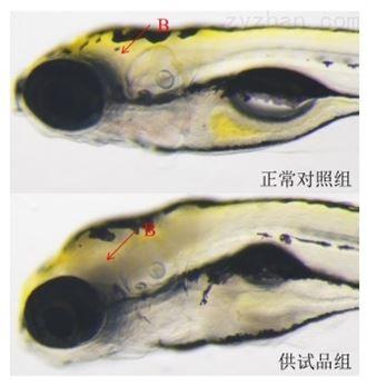 斑马鱼模型评价行为毒性